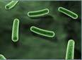 bacteroas